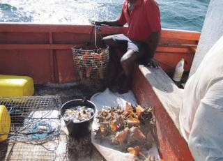 Pêche au lambi : pas de restriction  pour Saint-Martin