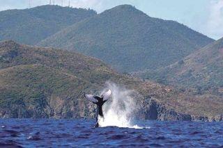 Déploiement de balises satellites pour mieux comprendre les migrations des baleines à bosse