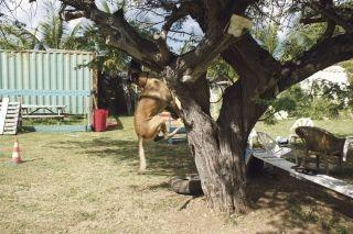 Démonstration d'une recherche de stupéfiant caché dans un arbre: Feever a capté l'odeur et marque avec insistance sa découverte ; Il est prêt à grimper dans l'arbre.