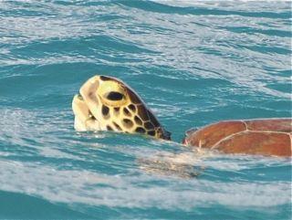 Devenir éco-volontaire  pour observer les tortues