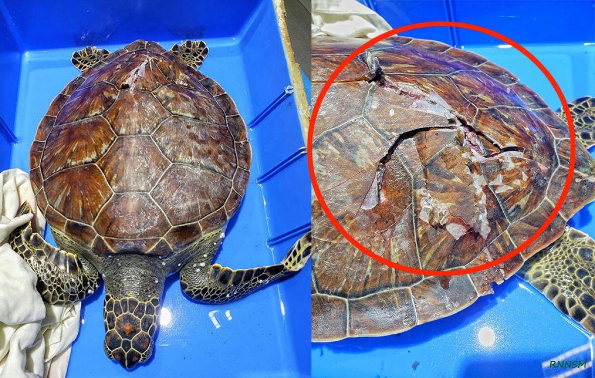Depuis janvier, une 6e tortue blessée par un engin motorisé