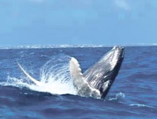 Observer les baleines et … en savoir plus