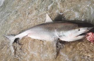 Un requin échoué à Plum Bay