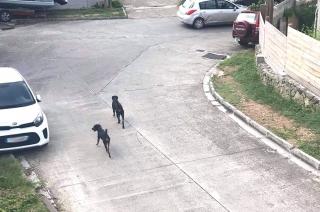 Des chiens en liberté déciment les animaux du quartier